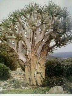 Aloe pilansii