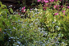 Vergeet-me-nietjes in De Inclusieve Tuin. Ontwerp: Studio Toop. In opdracht van: Vara's Vroege Vogels en Groei