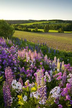 ✮ Lupins and phlox flowers, Clinton, Prince Edward Island