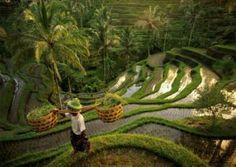 Plantacion Arroz, Bali, Indonesia