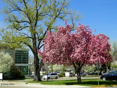 Crab apple tree blooming in Boise, Idaho.  ©Photo copyright by Marty Nelson. Photographer website: http://martynelsonphotoart.wix.com/mn-photo-art