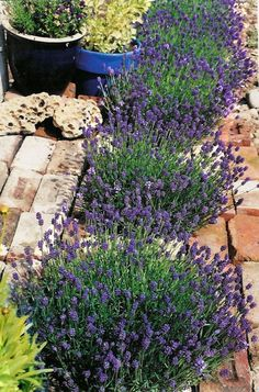 Thumbelina Leigh English Lavender is an extremely aromatic and profuse bloomer. This compact selection produces lovely spikes of violet-blue blooms up to three times per year! Shear by one-half after flowering for best repeat show. This versatile, undemanding little shrub is ideal for containers, low borders, and rock gardens. Zone 5-9
