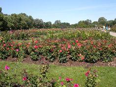 Rose Garden at Lake Harriet