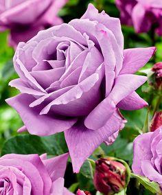 Large Flowered Rose 'Waltz Time'