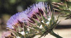 Αγκινάρα σπορά φύτεμα καλλιέργεια Herbs, Plants, Gardening, Tape, Lawn And Garden, Herb, Plant, Planets, Horticulture