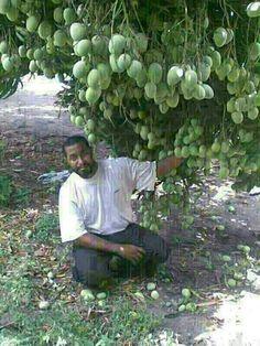 So many mangoes on one tree.
