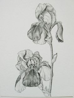 Irises botanical drawing original black and white pen and ink detailed