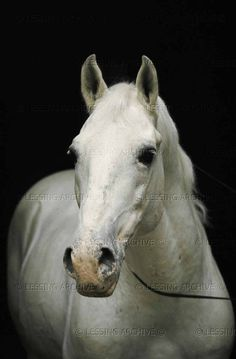 Lessing,Erich.Portraits of famous Lipizzan horses:Pluto Palmira. The horses' names are composed of the parent's names, the sire's and the dam's.