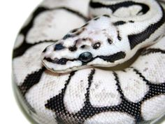 Zebra bee morph ball #python