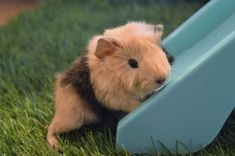 Image result for newborn baby guinea pigs
