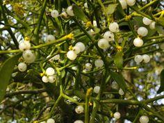 Mistletoe, Herefordshire, England.