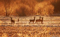 roe deer morning