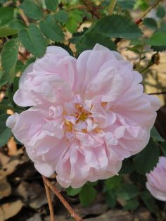Stanwell Perpetual Rose. Lee 1838. A chance seedling found in a garden in Stanwell. Delicious fragrance.