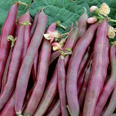 """Bean, Red Swan.  A unique snap bean developed by the late Robert Lobitz (1941-2006), a man with a lifelong passion for bean breeding. A cross between a purple snap bean and a pinto, the color is dusty red-rose; stringless pods are 4-5"""" long and delicious. Bush habit, snap, 52-58 days."""