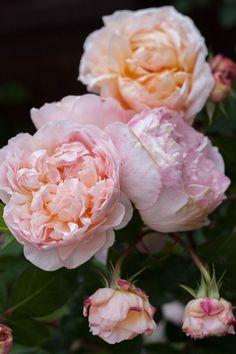 """""""Evelyn and Tamara, English Roses. """""""