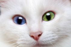 Heterochromia is a condition where the iris of each eye is a different colour. Crazy Cat Lady, Crazy Cats, Happy Animals, Cute Animals, Albino Cat, Different Colored Eyes, Cat With Blue Eyes, Green Eyes, Sleepy Cat