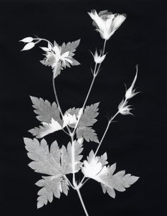 Gelatin-silver print - hand printed by the artist - camera-less photograph (print 1 of an edition of 1 plus 1 AP). From the series Suburban Herbarium - signed/titled in pencil with notes verso.