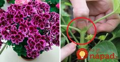 Prinášame vám preto skvelé triky od skúsených pestovateľov, vďaka ktorým budú vaše muškáty najkrajšie široko – ďaleko! Edible Garden, Herb Garden, Bonsai, Flora, Herbs, Gardening, Diy Crafts, Vegetables, Plants