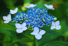 The inspiration for my hydrangea painting.