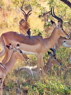 Impalas are such beautiful creatures | Volunteering with Wildlife and Children in South Africa - My Enriching Experience | via @Just1WayTicket