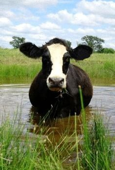 Cow In The Farm Pond