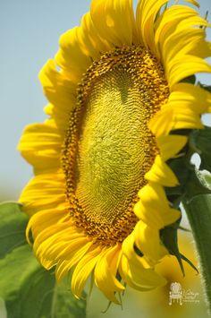 close-up-of-sunflower