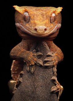 A Rhacodactylus ciliatus, também conhecida como lagartixa de crista, é um dos membros mais curiosos da imensa família dos geckos. Elas possuem notável capacidade de correr pelas paredes e os tetos, graças a um sistema especial de pelos aderentes localizados nas palmas de suas quatro patas. Sua cauda, quando cortada, se regenera e depois de um tempo volta a ser exatamente a mesma.