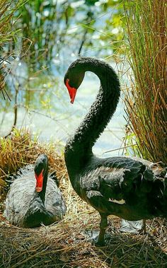 Waterfowl - Black Swans wait patiently for goslings.