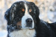 Bernese Mountain dog - if I ever move where the weather is cool most the year..