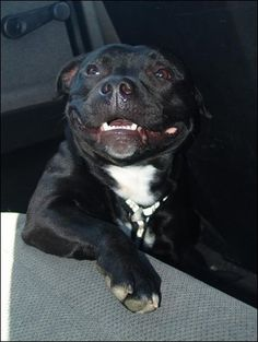 staffy smile :) ... the most beautiful smile in the world is that of a staffy!