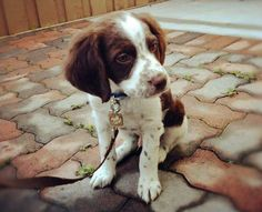 So Cute!                                       Bennett the Brittany Pictures 875074