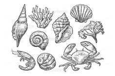 Set sea shell, coral, crab, and anchor. Isolated on white background. Ink Illustrations, Pencil Illustration, Graphic Illustration, Shell Drawing, Painting & Drawing, Creative Sketches, Art Sketches, Vintage Drawing, Sea Art