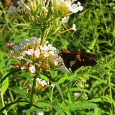 They call it Butterfly Bush for a reason!