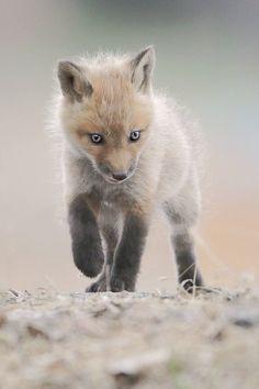 Young Fox by Denis Dumoulin via furkl