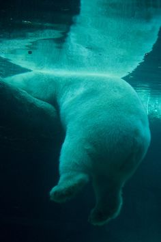 Polar Bear struggles to get out of the water.....