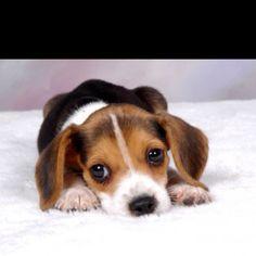 Beagle eyes