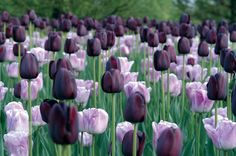 Buy Tulipa Shirley & 'Tulipa Queen of Night': Delivery by Crocus