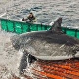 This is white shark Amy. She is one of the largest sharks we have ever tagged