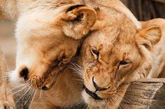 Afrikka, Eläinten, Iso, Lihansyöjä, Kissa, Pari, Halata