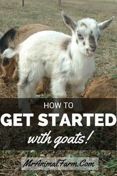 Started Raising goats can be easy! Find out how to choose your first goats through how to take care of your goats daily.Getting Started Raising goats can be easy! Find out how to choose your first goats through how to take care of your goats daily. Keeping Goats, Raising Goats, Raising Chickens, Backyard Farming, Chickens Backyard, Goat Shelter, Animal Shelter, Goat Pen, Goat Care