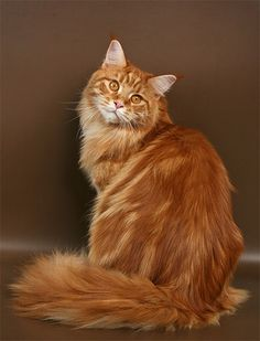 Main Coon 5.00 / 5 (100.00%) 1 vote - #cat - Different Main Coon Cat Breeds at Catsincare.com