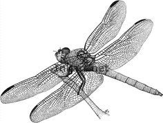 roseate skimmer dragonfly line art stock illustration