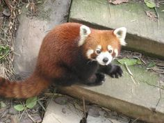 78+ images about cute red pandas on Pinterest | The internet, Just ...