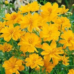 Dwarf Gold Cosmos: Zone 6, annual, summer to fall blooms, full or half sun, very hardy, drought resistant, attracts hummingbirds and butterflies, easy to grow