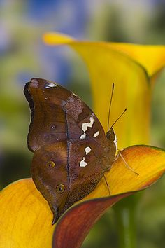 Autumn Leaf butterfly (Doleschallia bisaltide). Males imbibe moisture from damp sand and rocks on riverbanks and roadsides. If disturbed they fly up rapidly but re-settle nearby on walls or tree trunks, assuming a downward-facing posture, with wings closed.