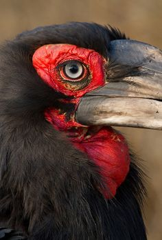 Southern Ground Hornbill - Up-Close