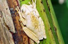 SAPO-MARTELO Hypsiboas faber Instituto Rã-bugio para Conservação da Biodiversidade