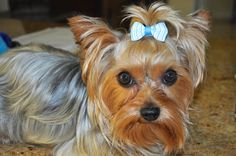 Meet Teddy, an adopted Yorkshire Terrier Dog, from Florida Yorkie Rescue in Palm City, FL on Petfinder. Learn more about Teddy today. Yorkshire Terrier Dog, Yorkies, Adoption, Meet, Yorkshire Terriers, Yorkshire