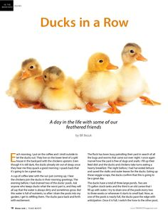 Fun article on raising backyard ducks on page 18 of the current Take Root magazine.  TAKE ROOT Magazine is a farm, food, and sustainable living magazine published quarterly by Duhn and Associates and is distributed in Oregon.