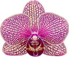 Macro of Moth-Orchid Flower: Phalaenopsis; with Striped / Spotted flowers; by Floricultura; Code:212539